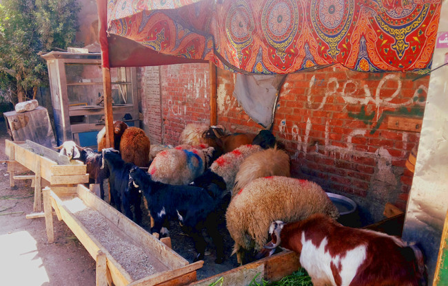 Sheep await slaughter as preparations for Eid al-Adha, which is on October 15th this year, get under way. [courtesy of Waleed Abu al-Khair/Al-Shorfa]
